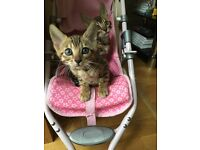 Bengal Kitten for Sale Female Ready to Go 9 Weeks Old Last One