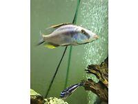 Malawi cichlid fish blue/silver red/yellow fins