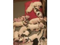 XL Johnson American bulldog puppies