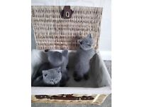 stunning blue British short haired kittens for sale
