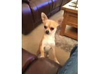 T-cup chihuahua (male) for sale