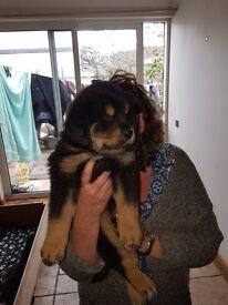 Tibetan Mastiff Puppies for sale
