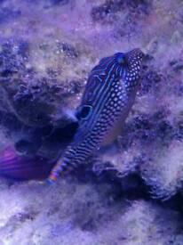 Solandri puffer fish