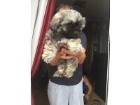 Shih Tzu pup, gorgeous little boy