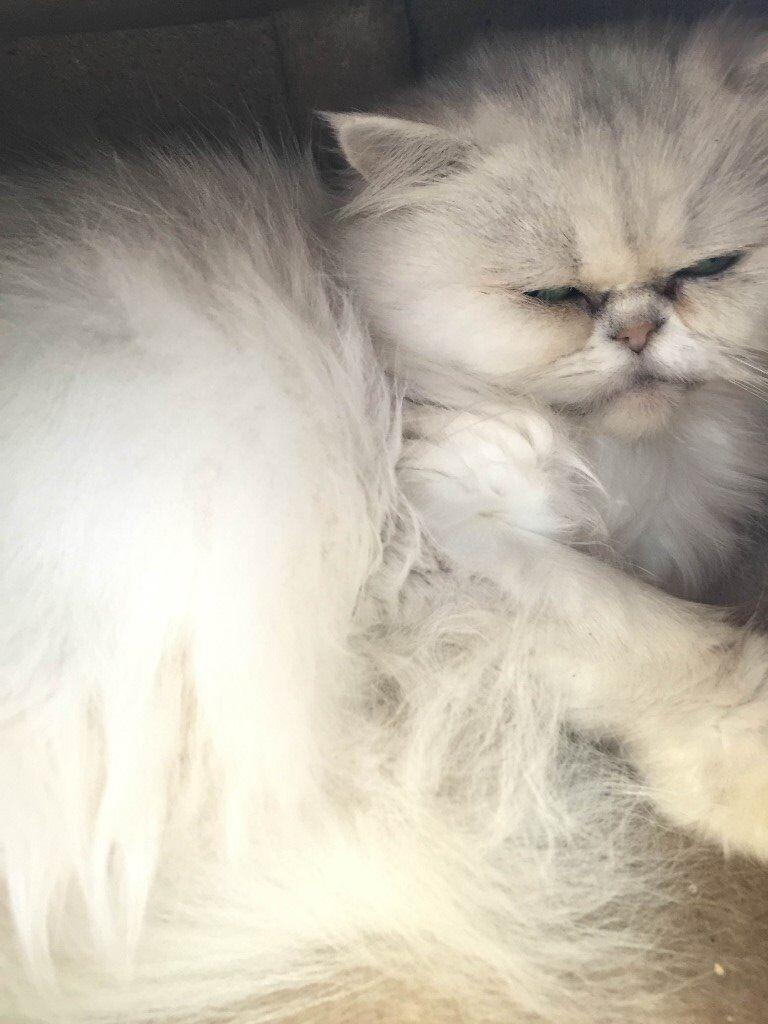 Persian Chinchilla Queen for sale