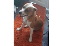 Staffordshire Dog Brown and white