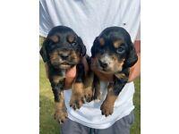 KC registered cocker spaniel pup *LAST ONE*