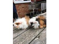 3 girls and 1 boy Guinea pigs for sale £50/pair