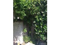Bamboo Plants Free to collector