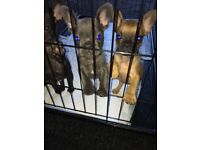 Kc French bulldog puppies Blue or black READY TO GO!!!!