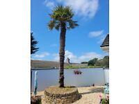 Mature 14-15 FT Chusan Palm Tree