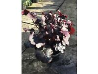 Perennial Plant - Heuchera Obsidian