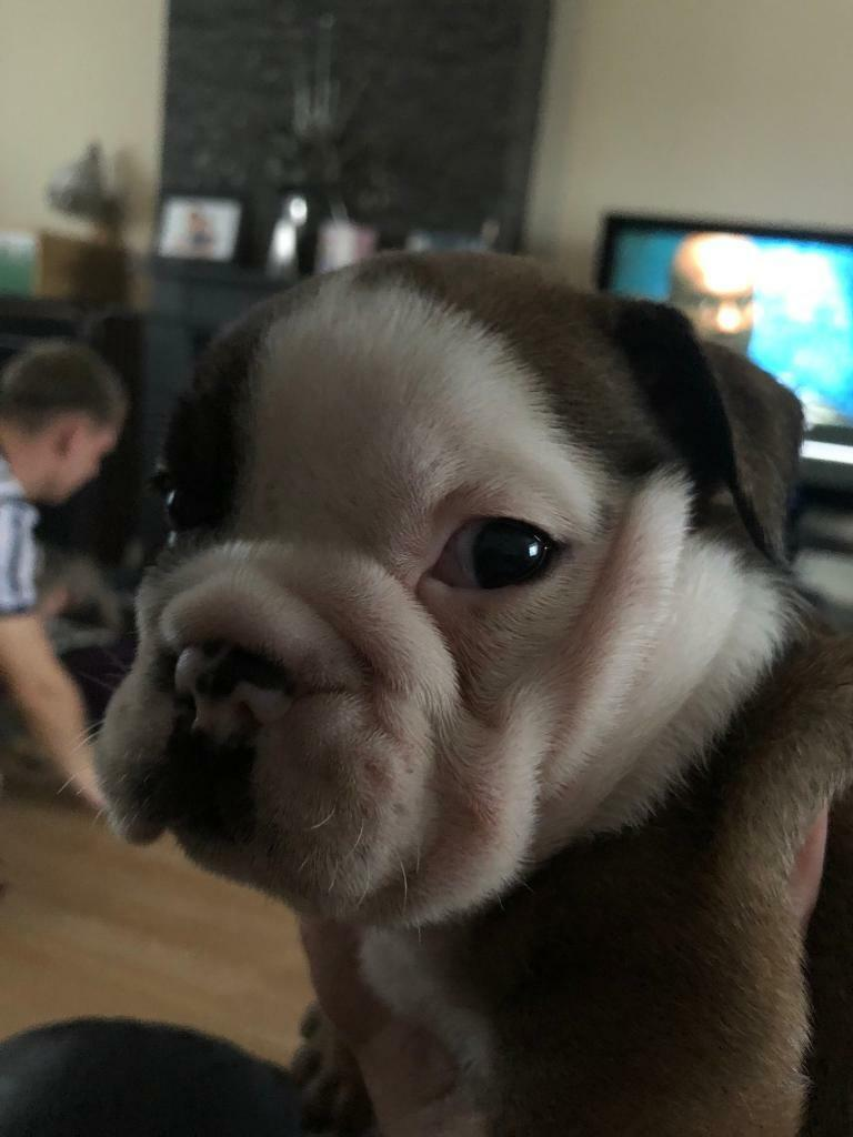 British Bulldog Puppies Tri Colour In Ely Cardiff Gumtree