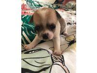 Chihuahua puppys