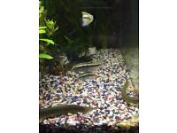 Kribensis and weather loaches for sale