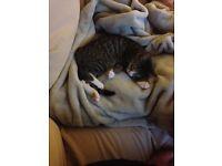 5 month old male kitten