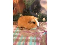 GUINEA PIG SOWS