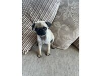 Pug puppy for sale - N.Ireland