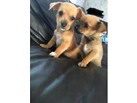Norfolk terrier x Chihuahua