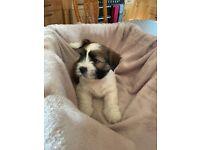 Lhasa Apso KC registered pedigree puppies