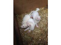 Ferret Kits For Sale 3 Hobs Left