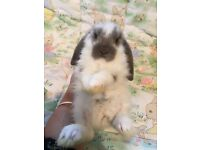 Stunning pure bred mini lop rabbits