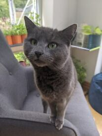 Beautiful Grey 4 year old female Cat