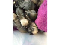 Stunning 7/8 pug puppies for sale