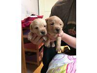 Golden Labrador puppies for sale