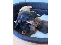 Chocolate dachshund puppies