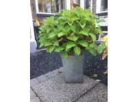 2x hydrangea & selection of pots