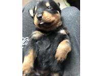Pure Rottweiler puppy