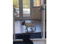 10 week french bulldog puppy for sale