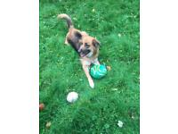 Very loving female German Shephard looking for a new home