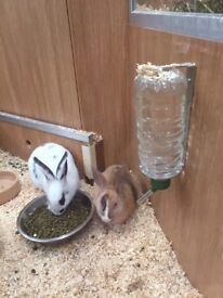 2 female fully vaccinated rabbits and all accessories