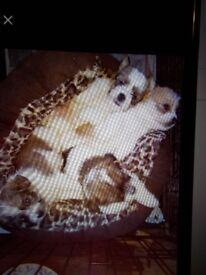 jack x shituz puppies