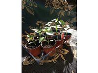 Sweet Pepper Plants Californian Wonder