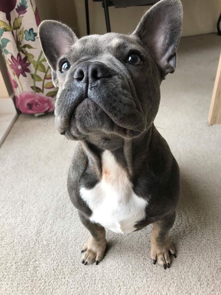 Blue Sable French bulldog 6 months old