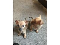 Chihuahua male puppy