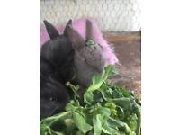 Rabbits 🐇 for sale Baby