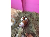 Adult and baby guinea pigs for sale