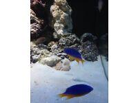 FREE MARINE FISH (damsels)