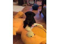 Black Male Pug