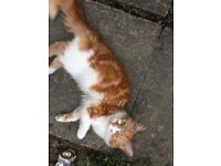 Found fluffy ginger and white cat