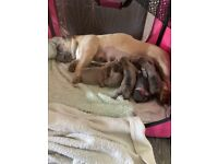 French bulldog KC pups for sale