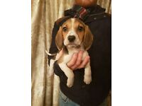 Fabulous Litter of Beagle Puppies