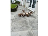 5 cavalier king charles looking for forever homes
