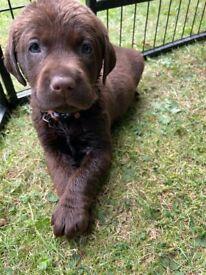Chunky Pedigree Labrador Puppies