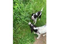2 beautiful English Springer Spaniels Brother and Sister looking for an incredible home