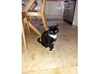 Middle aged black/white male cat **FREE**